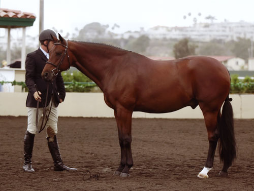 Archie Cox and Granted Regular Conformation Model 2008 Del Mar National Photo Osteen