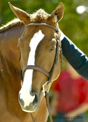 Chelsea Samuels Adele 2014 Devon Horse Show Photo The Book LLC