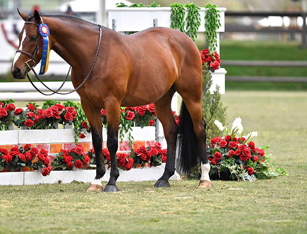 "Ann Russo's San Marco 2019 Blenheim Oaks Spring Classic Champion Green Hunters 3'6"" Photo by Alden Corrigan Media"