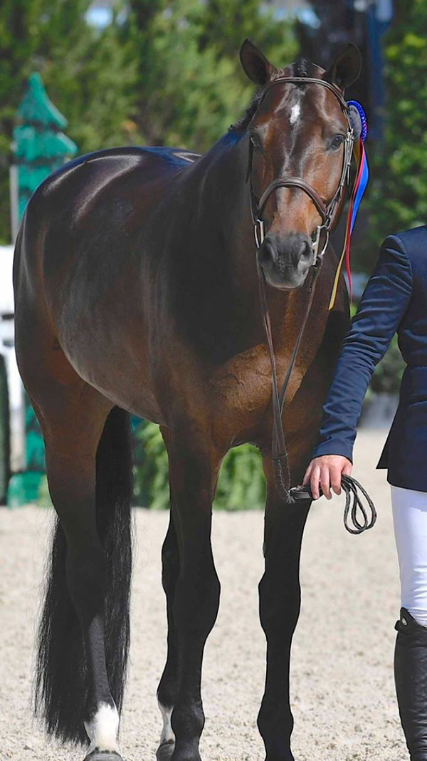 Lindsay Maxwell's Technicolor and Nick Haness Champion First Year Green Hunter 2016 Devon Horse Show